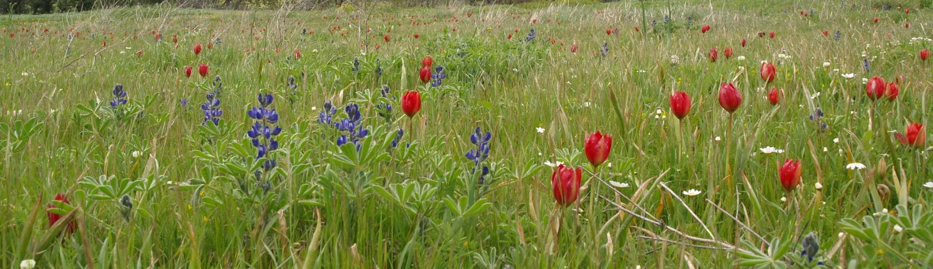 Tulipa doerfleri Gious Kampos - M. Nikolakakis